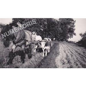Charnècles : labour avec un cheval et deux vaches