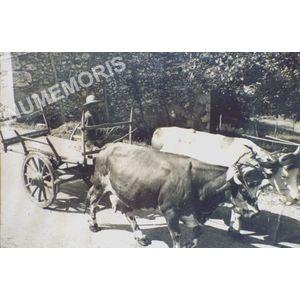 Pommiers la Placette : le martinet à vaches en 1950