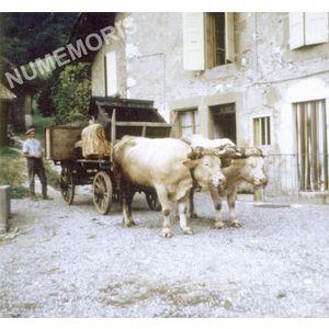 Pommiers la Placette : attelage de boeufs en 1966