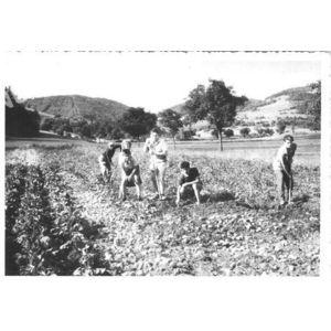 Chirens : ramassage des patates en 1957 aux Brosses