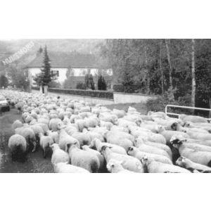 transhumance à la Rossetière à Saint Aupre en 1975