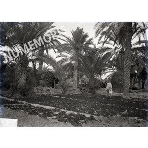 Palmiers en  Afrique du Nord